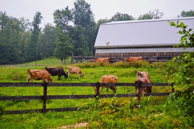 PA Bown Cows